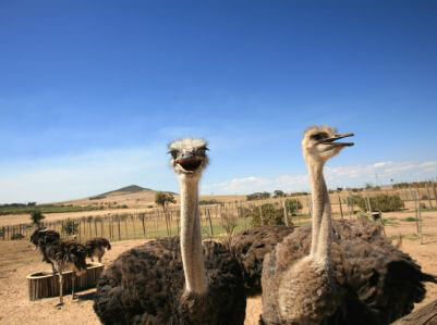 Ostriches on Garden Route Tour