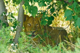 Lion at Imfolozi Park Tour