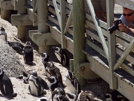 Penguins at Cape Point